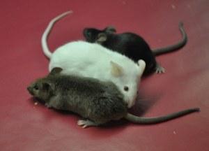 Custom service : TARGATT™ Fast and Site-Specific shRNA Knock-down Mice Service